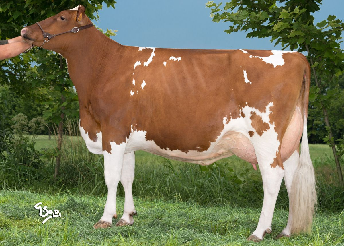 Redcarpet RED : Holstein proven bulls Intermizoo